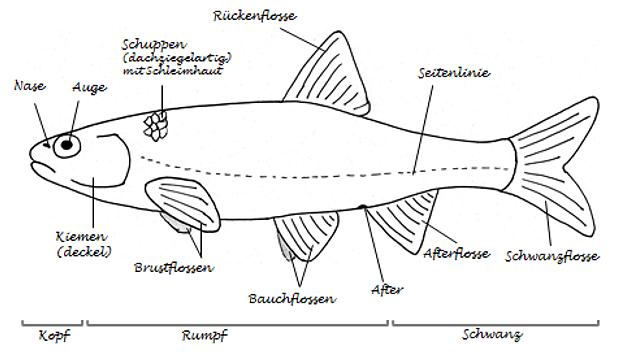 Arbeitsblatt Fische Grundschule : Arbeitsblatt lösung
